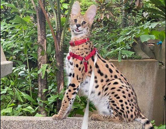 На Пхукете ищут кошку